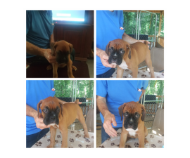 Akc Boxer puppies for sale