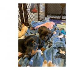 One last miniature dachshund puppy available for adoption