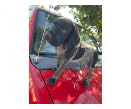 6 german shorthair puppies looking for their forever homes