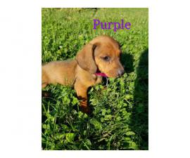 6 red long-hair Dachshund puppies looking for loving homes