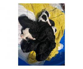 9 Standard Poodle puppies for sale
