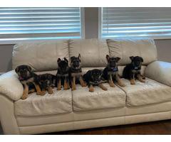 AKC 8 weeks old German Shepherd puppies for sale