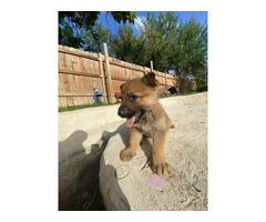Fully registered German Shepherd puppies