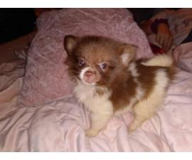 Three male Pomeranian puppies for sale