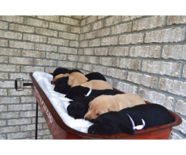 Full AKC Lab Puppies for Sale