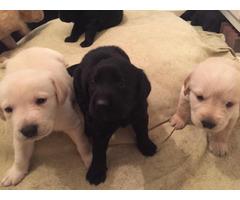 Goldador Puppies - Golden Retriever & Labrador Retriever Mix