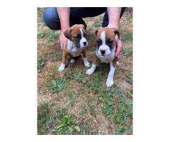 2 Purebred Boxer Puppies for sale
