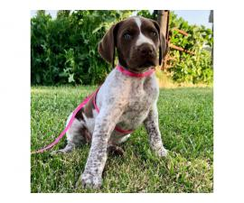 AKC German Shorthaired Pointer puppies for sale