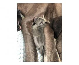 Blue and black AKC Great Dane puppies for sale