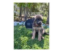 7 weeks old AKC German Shepherd Puppies for Sale