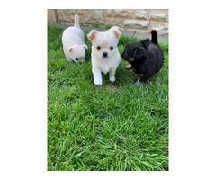 Sweet Chihuahua puppies
