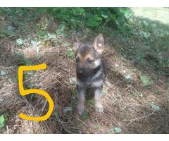 6 German shepherd puppies for new home