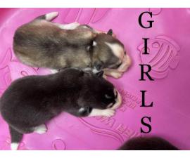 Shepsky puppies 2 females, 3 males
