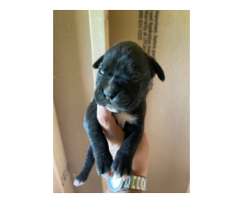 Male Boxer puppies AKC full breeding rights