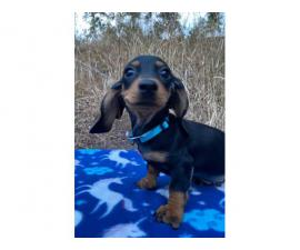 Litter of gorgeous doxie dachshund puppies