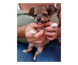 Chihuahua Terrier puppies