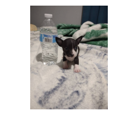 1 months old apple head Chihuahua puppies