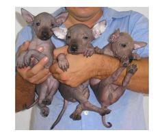 male Xoloitzcuintli puppy for sale.