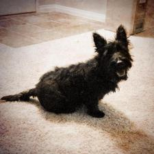 scottish terrier puppies for sale