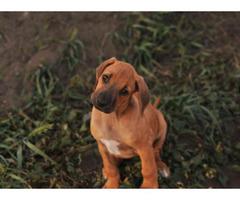 rhodesian ridgeback puppies for sale california