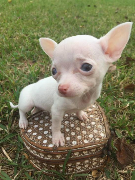 teacup applehead chihuahua puppies for sale in Houston ...