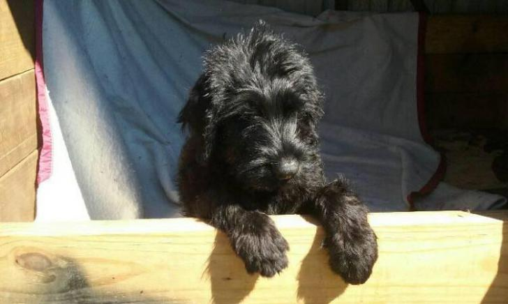 giant schnauzer puppies for sale in texas in Dallas, Texas ...