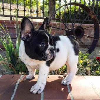 Micro French bulldog Lilac puppies for Sale in Irvine ...