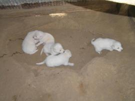 akbash puppies for sale