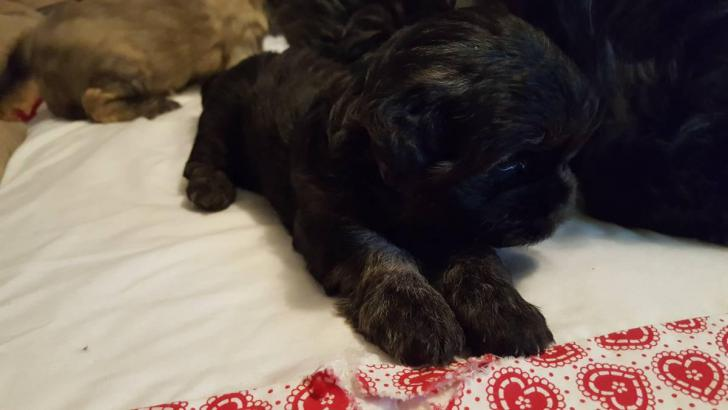 2 Male Cockapoo Puppies For Sale In Eau Claire Wisconsin Puppies For Sale Near Me