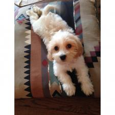 cavachon puppies ohio 10 weeks old
