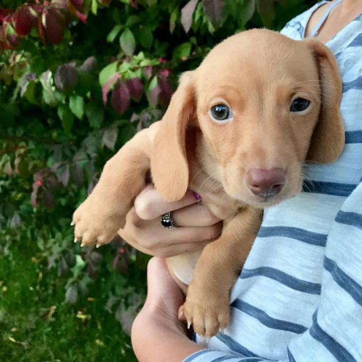miniature dachshund puppies for sale in Buffalo , New York