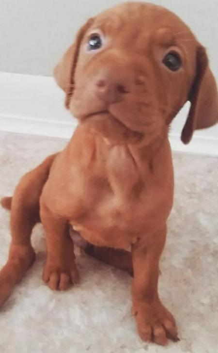 Hungarian Vizsla Puppies For Sale In Murrieta California Puppies For Sale Near Me