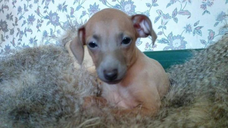 Italian Greyhound Puppies Texas In Houston Texas Puppies For Sale Near Me