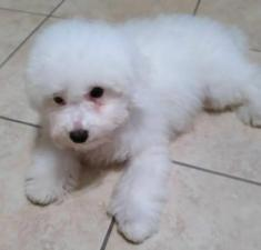 bichon frise puppies for sale in pa