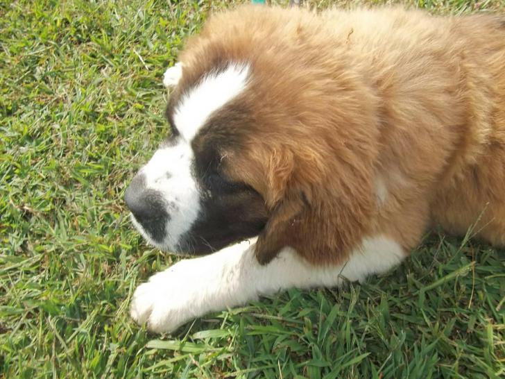 St Bernard Puppy In Quinton Alabama Puppies For Sale Near Me