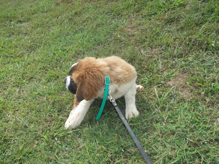 St Bernard Puppy In Quinton Alabama Puppies For Sale