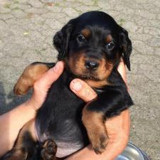 pedigree gordon setter puppies for sale