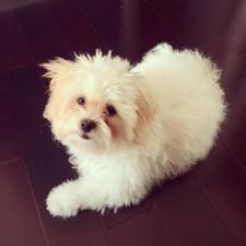 shichon puppies available