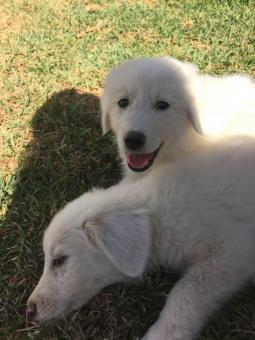 great pyrenees puppies for sale in nc