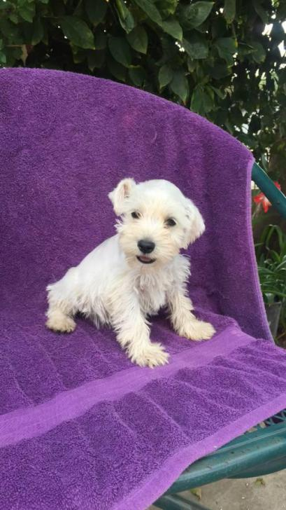 Mini Schnauzer Puppies For Sale In Texas In Murphy Texas Puppies For Sale Near Me