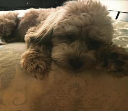 shih poo puppies for sale in ga