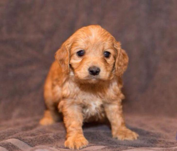 cockapoo Puppies in Bluffton, Indiana - Puppies for Sale ...