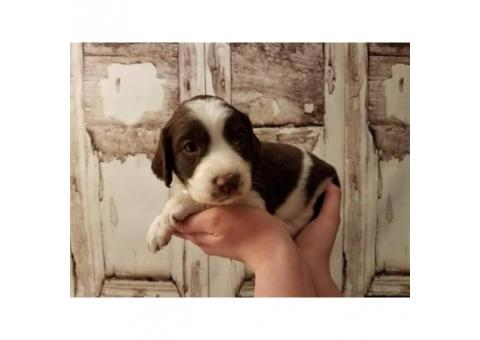 Pure bred Springer Spaniel puppies F $750  M $650