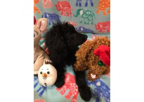11 weeks old Doubledoodle for Sale $1400