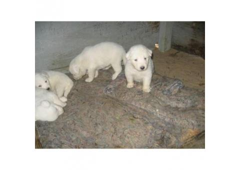 1 male, 3 Females Pyrenees Pups