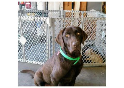 Chocolate and yellow lab pups AKC great blood lines