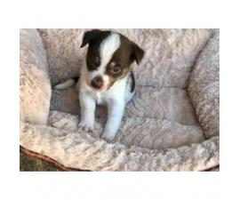 Jack chi puppies 3 girls 2 boys