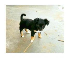 Pure bred Longhaired Chihuahua Puppy