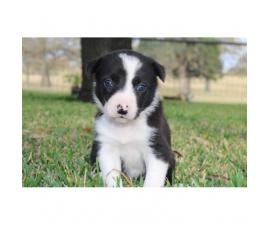 Border Collie Pups have blue eyes