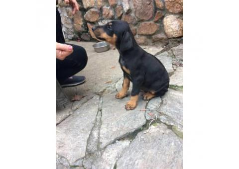 Doberman puppies for sale $500